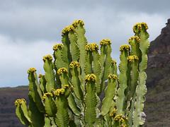 Virágzó kaktusz (ossian71) Tags: spanyolország spain kanáriszigetek canaryislands lagomera gomera vallegranrey természet nature virág flowers park