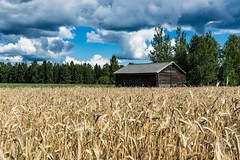 a rye field in Riuttala Farmhouse Museum (VisitLakeland) Tags: finland kuopio lakeland riuttala summer countryside historia kesä kohde käyntikohde maaseutu maisema museo museum nature scenery