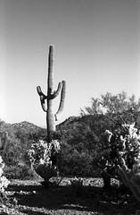Saguaro (JayinAZ) Tags: leicacl100ilforddelta400ilfosol3114730lenstagger arizona landscape desert saguaro 35mmfilm 35mm blackandwhite bw monochrome rangefinder