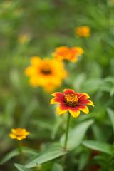 Zinnia (citrusjig) Tags: fujifilm xt1 helios44258mmf2 flowers