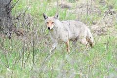 Stalking Coyote (adbecks) Tags: yellowstone coyote ynp d500 200500 wildlife