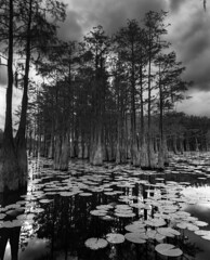 Florida Swamplands (davidcampbellphoto) Tags: trix intrepid swamp cypress