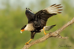 On the Run (Sharon's Nature) Tags: wildlife birds raptor birdofprey run crestedcaracara caracaracheriway aves canon closeup portrait