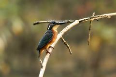 Common kingfisher (Lt_Dan) Tags: commonkingfisher kingfisher bird birdphotogrphy wildlife nature natureshot natura naturephotography alpago canon600d canon400f56lusm birds uccello uccelli