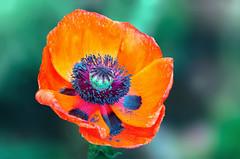 A Levitation (12bluros) Tags: poppy papaver papaverorientale flower flora floral canonef100mmf28lmacroisusm closeup