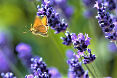 butterfly dream (Paul Wrights Reserved) Tags: butterfly butterflies butterflyinflight skipper skipperbutterfly colour colours colourful vibrant insect insects flyinginsect flyinginsects insectinflight beautiful beauty flower flowers botanical