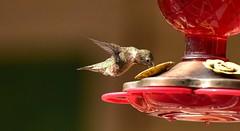 Hummingbird_1749c (Porch Dog) Tags: 2018 garywhittington hummingbird nikond750 nikkor200500mm backyard birdfeeder feathers nature summer wildlife