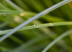 Rain Drops (_nature_p1xx_) Tags: closeup drop grass day growth leaf nature natur nopeople nikon nikonphotography nikond750 d750 outdoor outdoors plant water wet makro