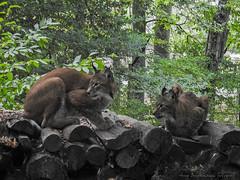 lynx1808141704 (opa guy) Tags: animaux continentsetpays domainesaintecroix europe france grandest lorraine moselle rhodes félins lynx