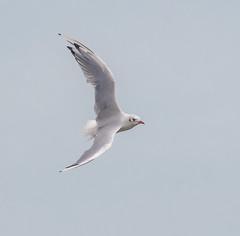 Oare B H Gull flying