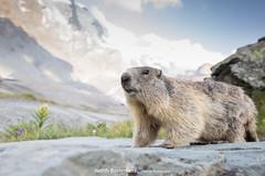 Alpenmarmot / Alpine Marmot (Judith_Borremans) Tags: alpenmarmotten oostenrijk alpinemarmot marmot wildlife nature austria mountains bergen grossglockner
