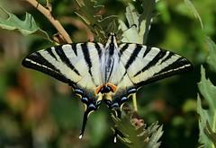 farfalla zebra podalirio (rosy_nannini) Tags: farfalla butterfly mariposa papillon ali