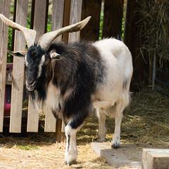 Arapawa goat billy (Dave_A_2007) Tags: animal goat mammal nature wildlife wilmcote warwickshire england