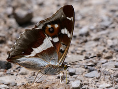 Purple Emperor butterfly (Andythetrog - trying to catch up) Tags: purpleemperor butterfly bentleywood wiltshire