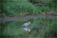 Patience (Summerside90) Tags: birds birdwatcher greatblueheron august summer nature wildlife ontario canada