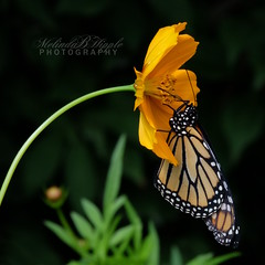 Monarch (bellydanser) Tags: butterfly insect animal fauna wildlife wildlifephotography nature garden cosmo flora monarch