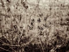 Rustic (J.C. Moyer) Tags: summer warm farm fence blackandwhite lumix panasonicdmcgx80 drought dry whitered decay rustic nature spidersilk flora plants
