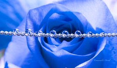 P7261156-1-4_001 (orrelljet) Tags: drops droplet flower rose blue colour refraction reflection macro olympus