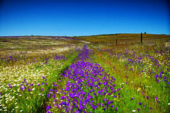 (Pedro dos Anjos) Tags: landscape flowers trail leading line pasture sky nature spring tree green blue purple sun light white yellow garden fence colorful world travel flora outside alentejo portugal sony a77