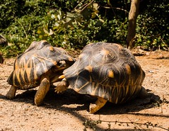 Pushing and shoving (kimbenson45) Tags: cotswoldwildlifepark animals brown nature outdoors patterned patterns shells tortoises