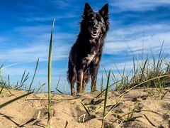 Jack the lad...xx (shona.2) Tags: eastlothian gullane scotland mongrel cross germanshepherd collie alsatian summer spring bluesky playful playing portrait sand dunes beach pet dog