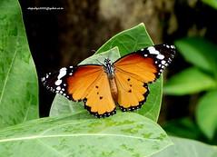 DSC01244 Plain Tiger (Danaus chrysippus) (vlupadya) Tags: greatnature fauna animal butterfly lepidoptera insecta plain tiger danaus kundapura karnataka