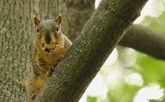 Squirrel, Cantigny Park. 58 (EOS) (Mega-Magpie) Tags: canon eos 60d nature squirrel wildlife outdoors tree branch cantigny park wheaton il dupage illinois usa america