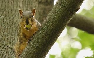 Squirrel, Cantigny Park. 58 (EOS)