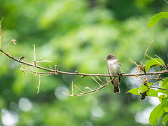 Eastern Wood-Pewees (When Photographed) Tags: bird tree wood branch pewee flycatcher tyrant feather nature birdwatching easternwoodpewee