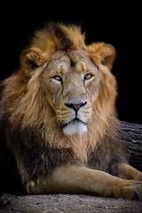 Not sure if the Lion sleeps tonight... (picsessionphotoarts) Tags: blackbackground planetearth flickrnature nikonfotografie nikonphotography zoo atthezoo wilhelma stuttgart wilhelmastuttgart lion explore tier tierpark löwe wildtiere wildlifeanimals africa