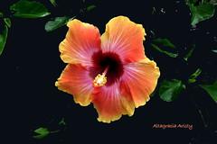 Hibisco/Hibiscus (Altagracia Aristy Sánchez) Tags: hibisco cayena homedepot hibiscus riverview florida fujifilmfinepixhs10 fujifineixhs10 fujihs10 riverviewfl