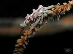 Xeno Crab (Xenocarcinus tuberculatus) (Brian Mayes) Tags: 1992 icebox1 muara brunei crab xenocrab xenocarcinustuberculatus underwater scuba diving canon g16 canong16 brianmayes