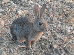 Coelho-bravo // Wild Rabbit (Oryctolagus cuniculus subsp. algirus) (Valter Jacinto | Portugal) Tags: europe portugal algarve castromarim azinhal cortedogago animalia chordata mammalia lagomorpha leporidae oryctolagus oryctolaguscuniculus oryctolaguscuniculusalgirus coelho coelhobravo rabbit wildrabbit mamífero mammal nature naturephotography biodiversity animals fauna taxonomy:binomial=oryctolaguscuniculus taxonomy:trinomial=oryctolaguscuniculusalgirus taxonomy:genus=oryctolagus taxonomy:family=leporidae taxonomy:order=lagomorpha taxonomy:class=mammalia taxonomy:phylum=chordata taxonomy:kingdom=animalia geo:region=europe geo:country=portugal nikoncoolpixp900 p900
