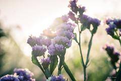 Flowers (romainchaffin) Tags: 60mm a6000 laowa macro contrejour extérieur f28 flare fleurs nature nex soleil sony bokeh flowers sun sunshine