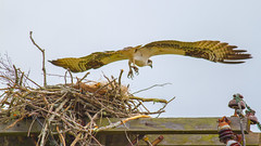 Taking Off From Home (John Kocijanski) Tags: osprey nest bird birdofprey raptor wings flight flying wildlife nature canon400mmf56 canon7d animal