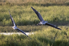 """juvenileherons • <a style=""""font-size:0.8em;"""" href=""""http://www.flickr.com/photos/157241634@N04/41155289290/"""" target=""""_blank"""">View on Flickr</a>"""