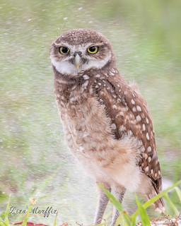 Burrowing Owls & Owlets