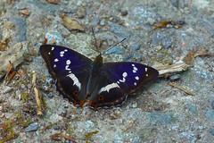 Purple Emperor (murtica27) Tags: schmetterling tagfalter mariposa farfalle papillion tags hinzufügen butterfly butterfies falter lepidoptera macro european butterflies forst sony alpha europa makro vogel némusien チョウ булавоусые чешуекрылые sachs leinawald altenburg