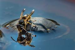 Wasps are also thirsty (alschim) Tags: commonwasp gemeinewespe insekt omdem1mkii omdem1markii olympus vespulavulgaris wasp wespe animal environment equipment insect wildlife wwwalschimcom wwwalschimde solingen nrw deutschland exif:model=em1markii exif:make=olympuscorporation camera:model=em1markii exif:focallength=300mm exif:aperture=ƒ80 exif:isospeed=64 camera:make=olympuscorporation exif:lens=olympusm75300mmf4867ii macro