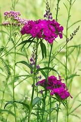 Oeillet de poète (mamietherese1) Tags: world100f earthmarvels50earthfaves fleursetpaysages
