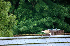 Spaziergang auf dem Dach (05) (Rüdiger Stehn) Tags: natur deutschland germany 2018 schleswigholstein europa mitteleuropa norddeutschland 2000er altenholz gänsevögel anseriformes entenvögel anatidae wasservögel vögel tiere brantacanadensis gänse anserinae echtegänse anserini meergänse branta kreisrendsburgeckernförde aves bird gans canoneos550d rüdigerstehn altenholzstift gebäude dach fenster4stockaltenholzstift