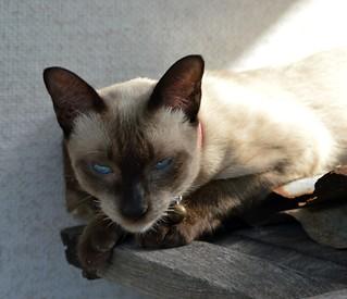 fierce looking siamese cat