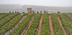 Foggy Day Work Break (Michael T. Morales) Tags: agriculture farm cultivation rows furrows soil harvest salinasvalley ag farmworkers strawberryharvest ripefruit