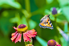 All she was missing was a beautiful face (Paul Wrights Reserved) Tags: butterfly butterflies butterflyinflight beautiful nature naturephotography light flower flowers flowering botanical wildlife wildlifephotography colour insect insects macro animal