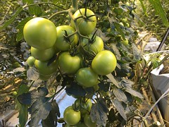 Tómatarnir (Pierre♪ à ♪VanCouver) Tags: iceland tomatoes tomates ísland greenhouse