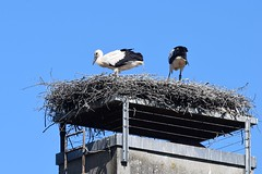 Storks 22.06 (3) (tabbynera) Tags: storks