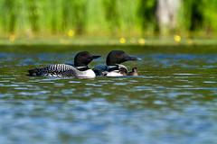 Loons_150 (pixquik) Tags: loons loonchicks looncouple water traversecity traversecitymichigan grandtraversecounty birds waterfowl