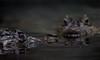 Broad-nosed caiman (bienve958) Tags: caimandemorroancho reptil caiman cocodrilo broadnosedcaiman eyes pdc dof