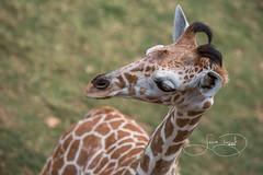 _MGL2194.jpg (shutterbugdancer) Tags: giraffe reticulatedgiraffe africansavanna fortworthzoo fortworth