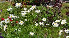 Daisy Time (RockN) Tags: daisies massive june2018 maryannstaogarden worcester massachusetts newengland